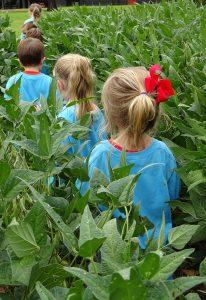 Students walking through a soybean field